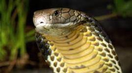 kobraa
